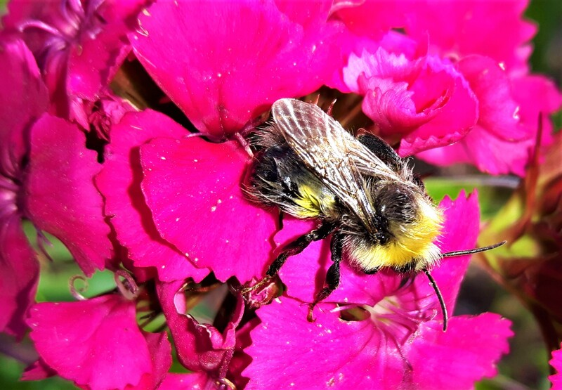 Bee on Sweet William, Dianthus barbutus