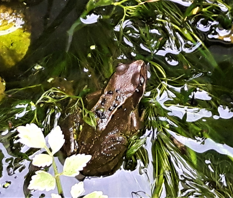 Frog sat in a pond