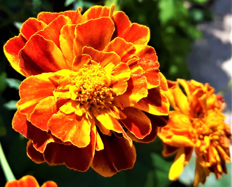 French Marigold, Tagetes.