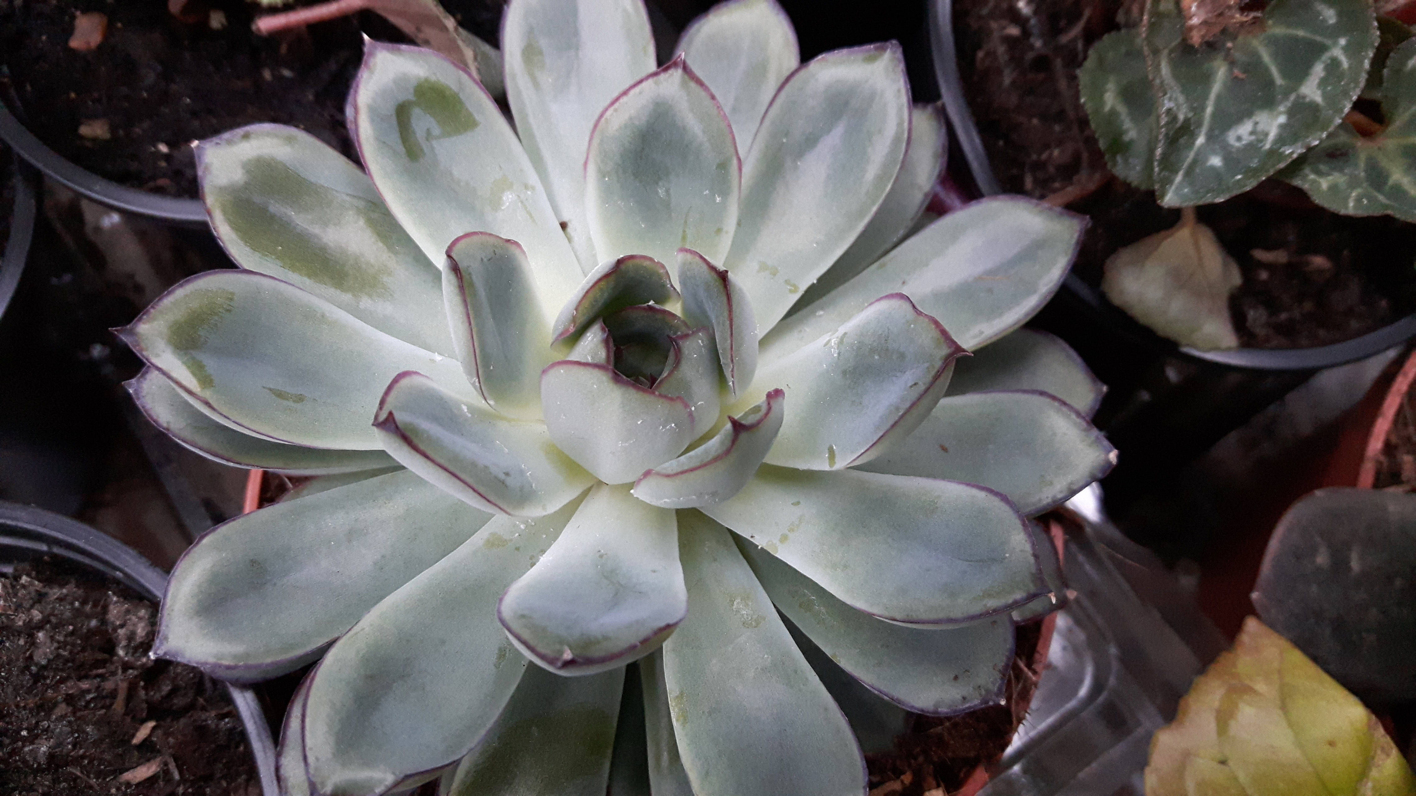 Echeveria Pulidonis Glossy Trimmed Mexican Hens Chicks Plant