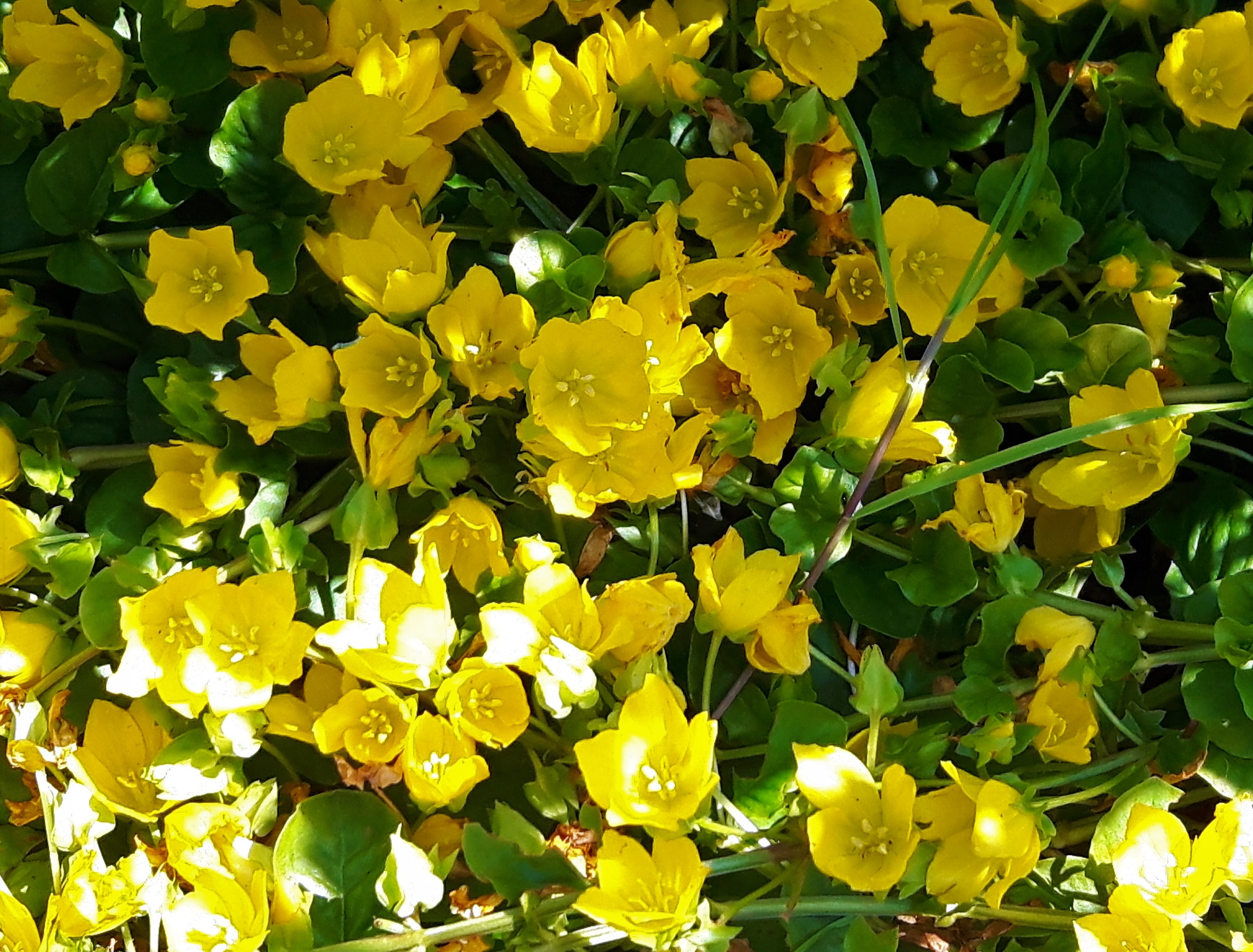 Lysimachia Nummularia Creeping Jenny Hardy Fast Growing Flowering